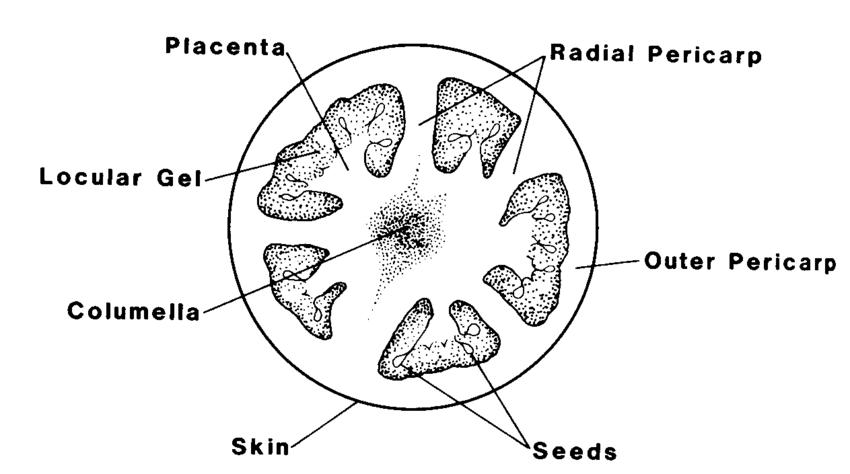 Specimen F – Transverse Section of ripe Tomatoe Fruit