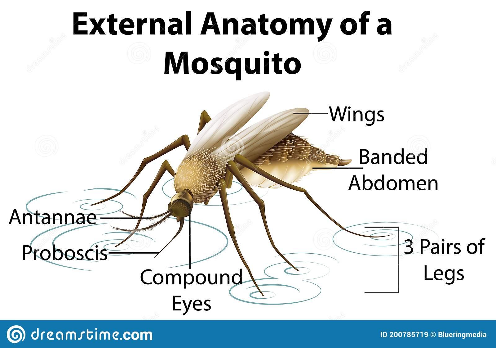 Specimen L Mosquito